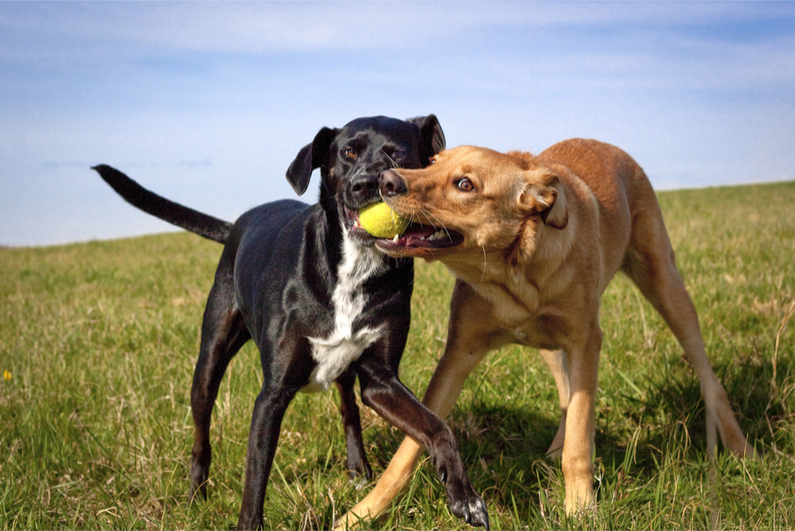 Two dogs struggling for control of a tennis ball in a green grassy field