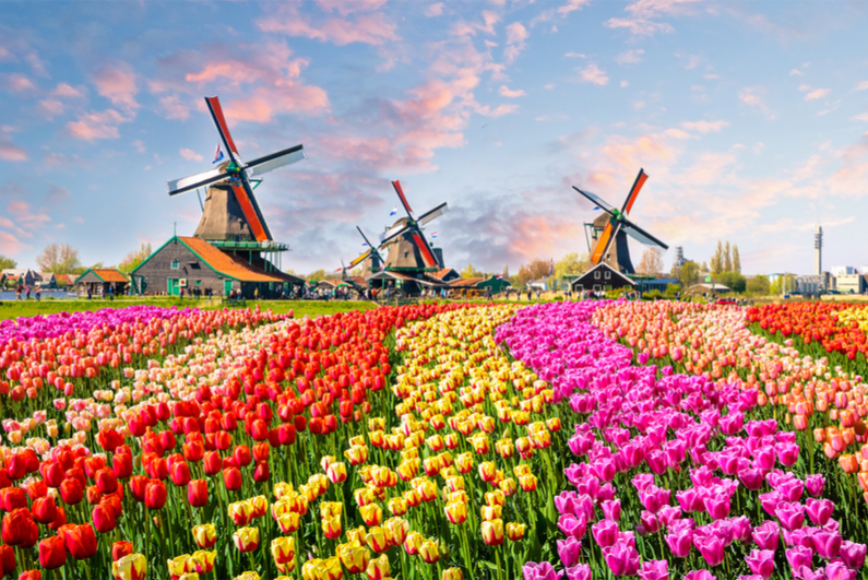 Landscape with tulips, traditional dutch windmills and houses near the canal in Zaanse Schans, Netherlands