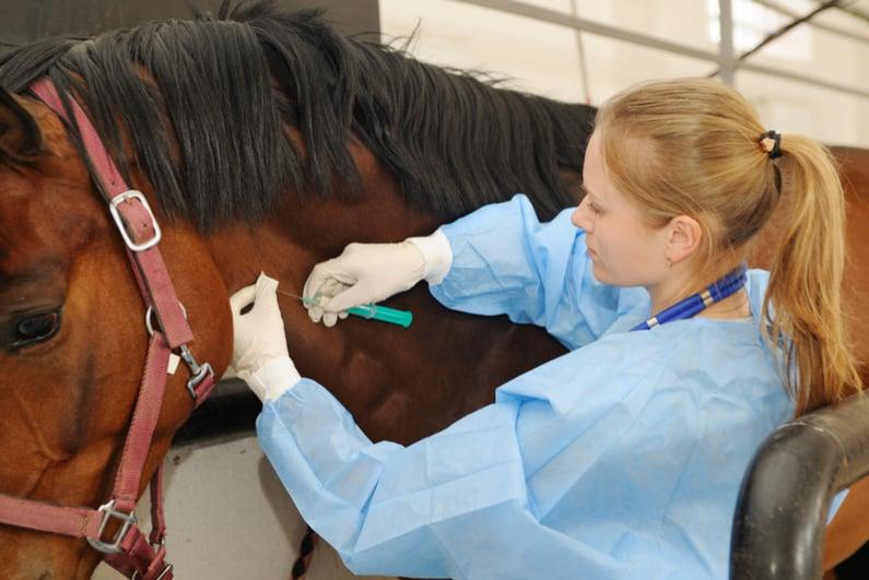 Veterinarian inoculating a horse