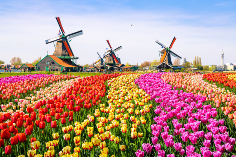 Landscape of tulips with traditional Dutch windmills in background