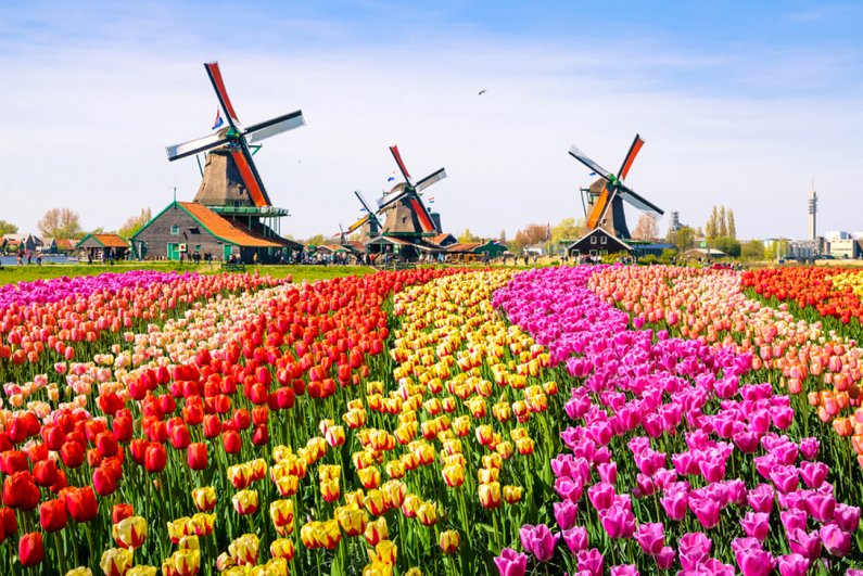 Landscape with tulips, traditional Dutch houses and windmills.