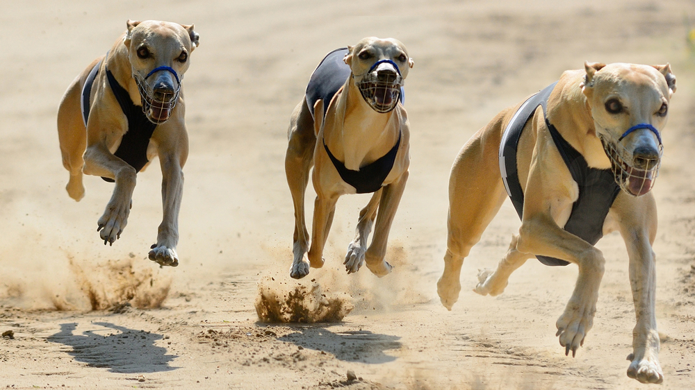three greyhounds racing on a track