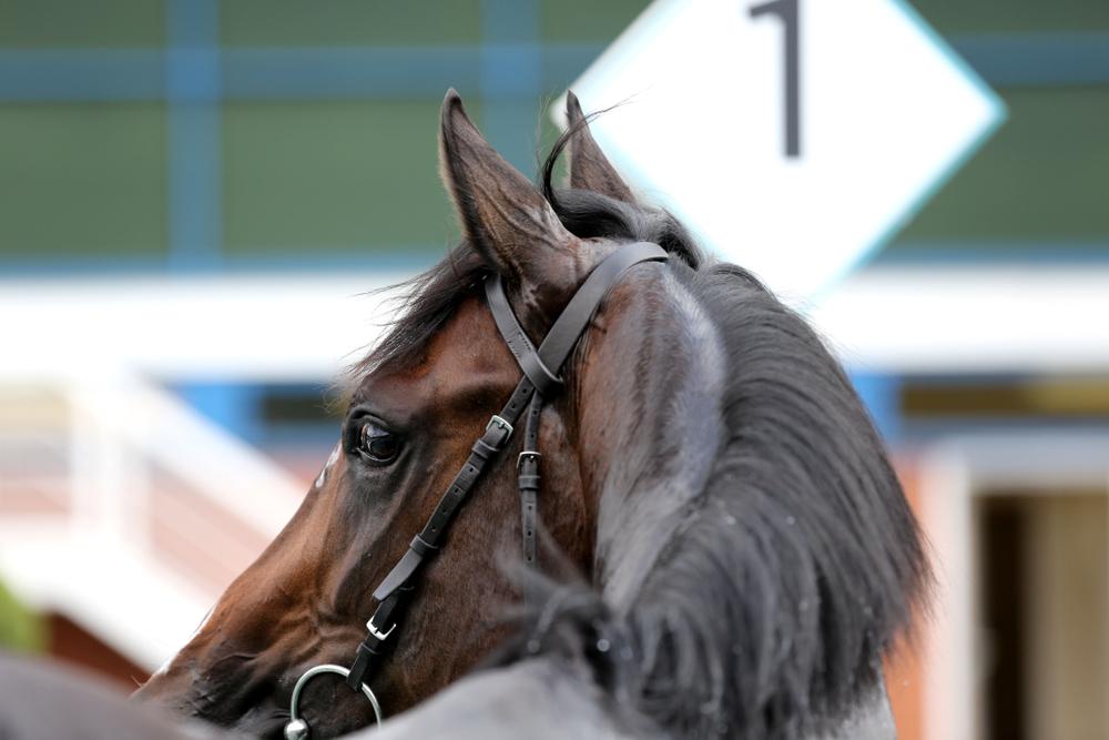 dark brown racehorse